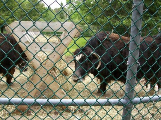 Cherry Brook Zoo Inc.: ox