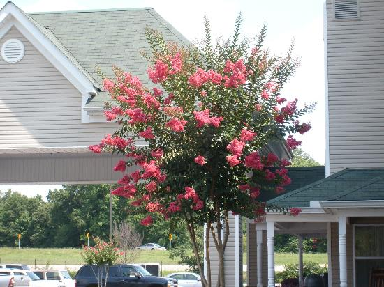 Country Inn & Suites By Carlson, Chattanooga North at Highway 153: Pink crape myrtle bush growing in parking lot added to the overall appeal of the hotel!