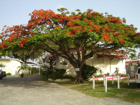 Cottages By The Sea: The flamboyant tree near the office