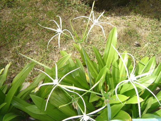 Cottages By The Sea : The spider crinum blossoms around the north patio