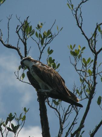 Gulf Coast Visitor Center: Osprey watching us as much as we were watching him!