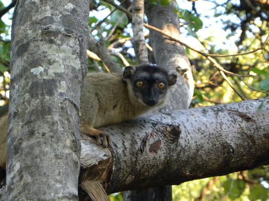 Anjajavy L'Hotel: Brown lemur