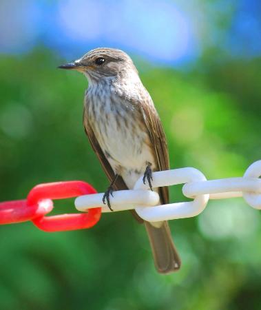 Hotel Riu Tikida Garden : another resident .. flycatcher.