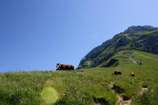 La Tournette : Cow pasture