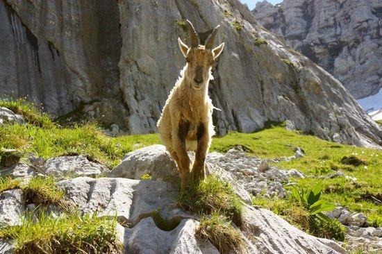 La Tournette: Ibex