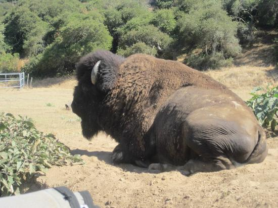 Catalina Transportation Services : A bison in the island's interior