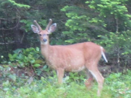 Fernhill Bed and Breakfast: Viewing a deer on the property less than 50 feet away