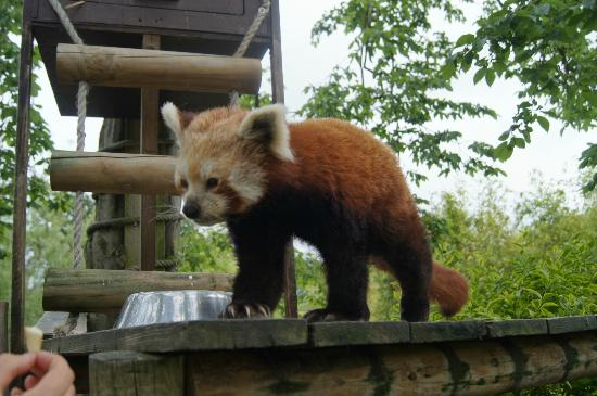 Broxbourne, UK: Red Panda