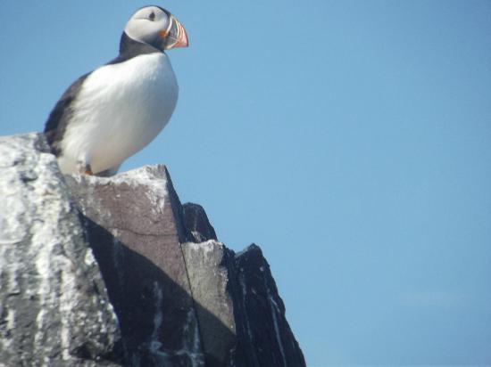 Serenity Farne Island Boat Tours: puffin, Farne islands july 2012