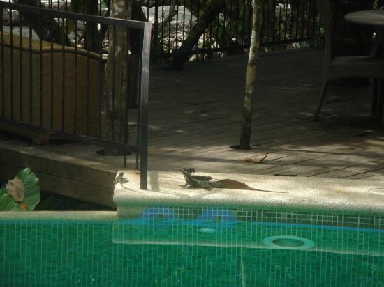 Arenas del Mar Beachfront and Rainforest Resort, Manuel Antonio, Costa Rica : lézard au bord de la piscine
