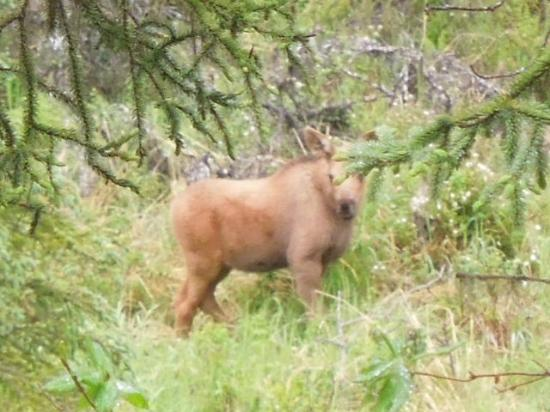 Escape for Two Bed & Breakfast: baby moose