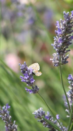 Antico Podere Marciano: dozens of butterflies flutter in the huge lavender bushes of the gardens