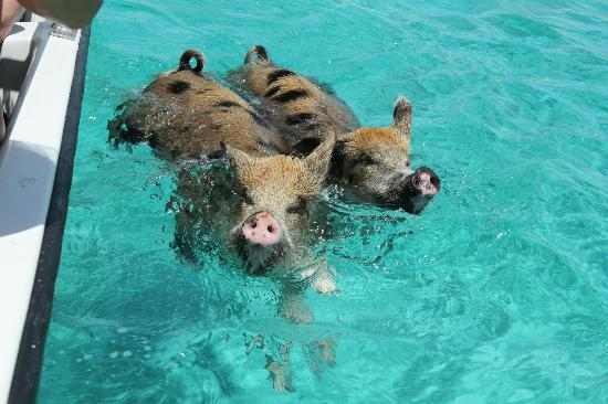 Exuma Water Tours: The most athletic and fit hogs I've ever seen ...