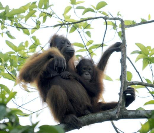 Proboscis Lodge Bukit Melapi: Orang utan