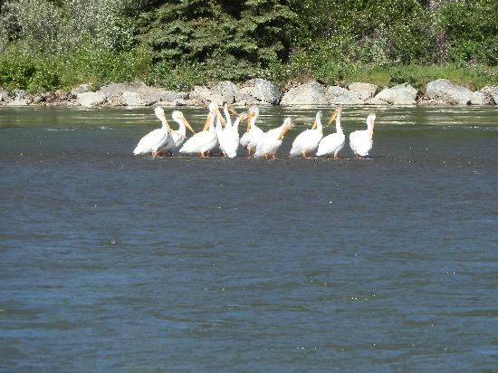 Dave Hansen Whitewater and Scenic River Trips: Hard to believe there are pelicans in Wyoming