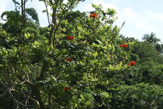 Bay View Villas: The African Tulip tree on property