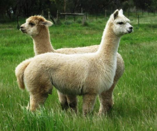 Duck Duck Goose Bed and Breakfast: Alpacas