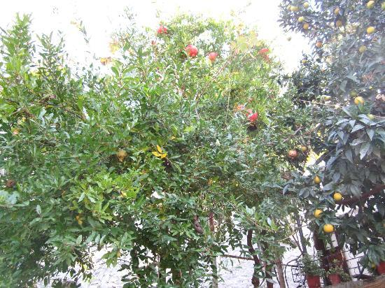 Berat Backpackers: Pomegranates and oranges in the garden. And grapes too.