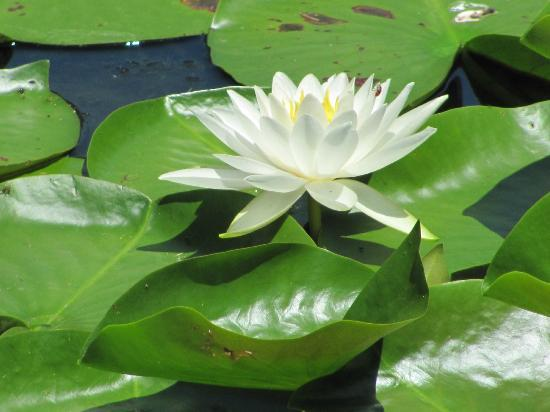 Forest Park : Pond Lilly