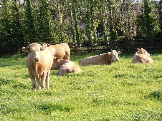 Adare Irish Cottages: Cattle on the grounds