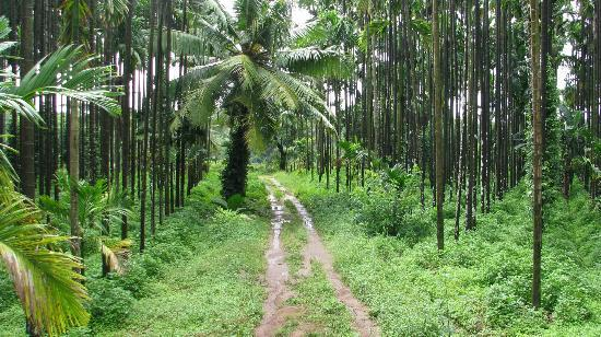 Vihangama Holiday Retreat: Arecanut plantation behind the resort