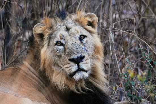 Junagadh, Индия: Pantera Leo Persica, Det Asiatiska Lejonet