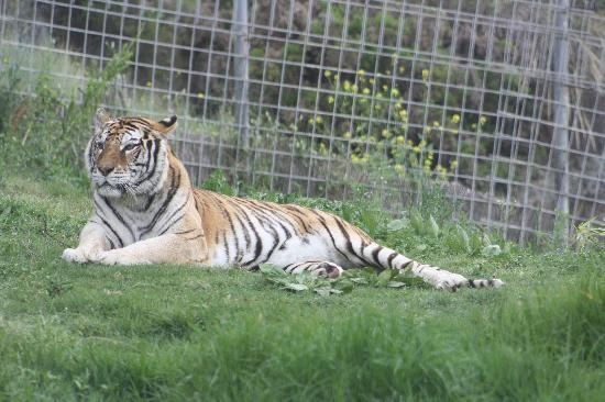 Selwo Aventura: Tigre