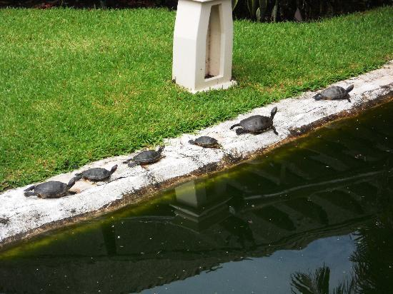 Iberostar Cozumel : Turtles in a line first thing in the morning :)