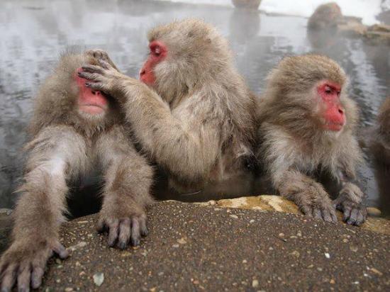 Resort In Toemu: Snow monkeys at Jigokudani