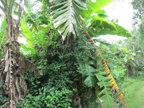 ココス アイランド リゾート , ジャングルツアーのバナナの木