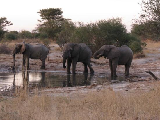 Khama Rhino Sanctuary: The water hole is very close to the bar and dining area