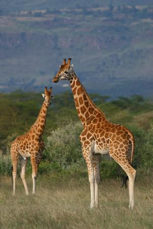 Lake Elementaita, Kenya: Rothschild giraffe on Soysambu Conservancy