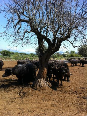 La fattoria del casaro: parco bufale