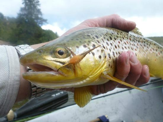 The Colorado Angler: Brown trout with salmon fly dry