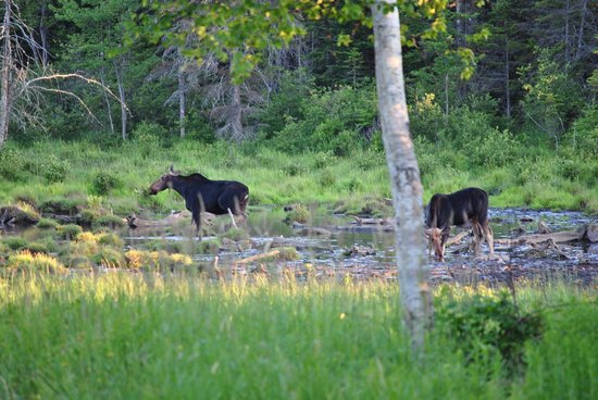 Moosehead Family Campground: Moose at the DOT about 1mi south of campground