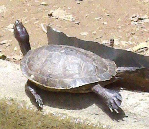 The Fajardo Inn: Turtles