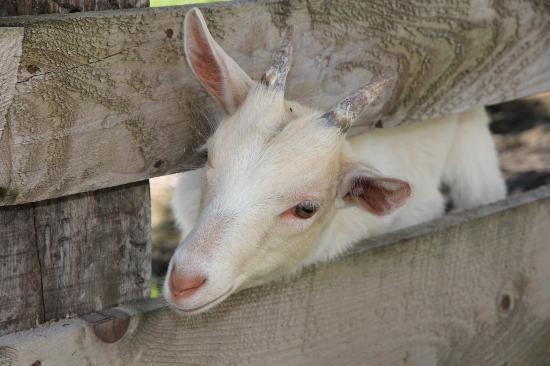 Komfortbauernhof Zittrauerhof: A picture of one of the little goats.