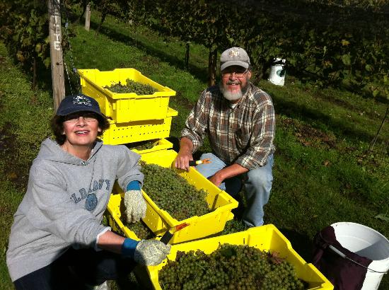 Taylor Brooke Winery: Grape Harvest Time