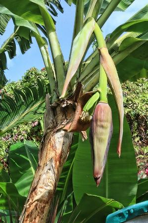 The Green Iguana Hotel: banana trees at the Green Iguana