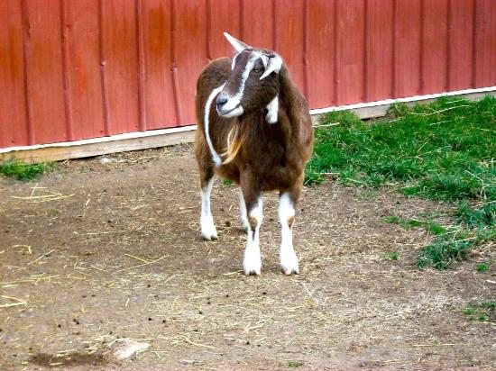 Goat - Picture of Lollypop Farm, Humane Society of Greater