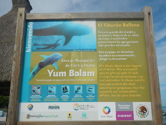 Holbox Whale Shark Tours with Willy's Tours: Reglamento para nado con el Tiburón Ballena!