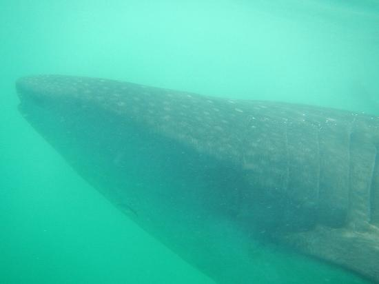 Holbox Whale Shark Tours with Willy's Tours: Mi Tuburón Ballena Hermosoo!!