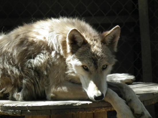 Big Bear Alpine Zoo at Moonridge: One of the beautiful wolves at Moonridge