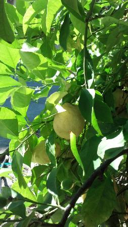 Spanish Villa Inn: Lemon Tree
