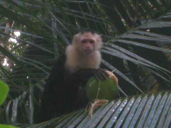La Paloma Lodge: White faced capuchin monkey in tree above our room