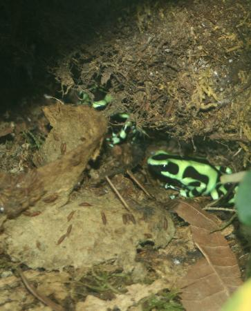 Arenal Oasis Wildlife Refuge: Another beautiful but poisonus frog (in vivarium)