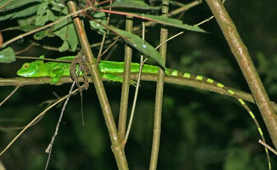 Arenal Oasis Wildlife Refuge: A basilisk is sleeping