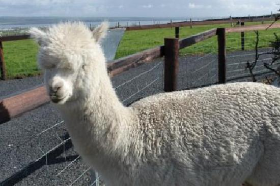 Liscannor, Ireland: Andy the Alpaca