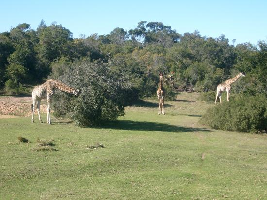 The Baroness Luxury Safari Lodge: Giraffes on the lawn in front of our bedroom
