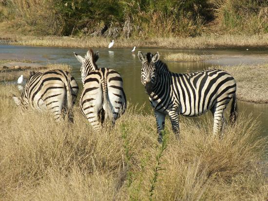 Kwetsani Camp: Zebra